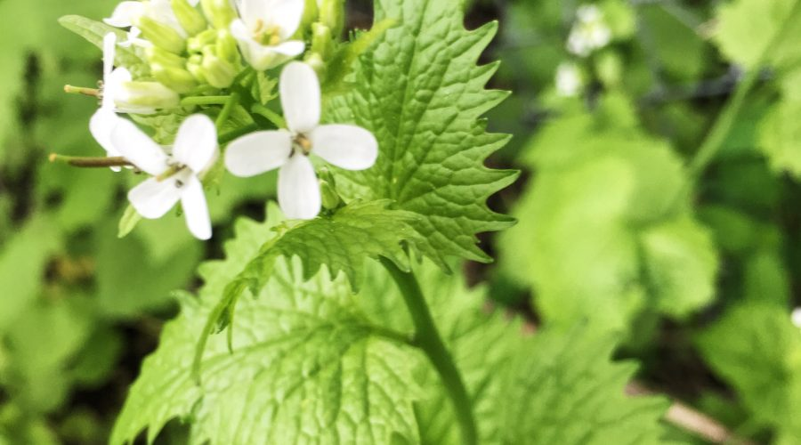 Garlic Mustard (Alliaria petiolate)
