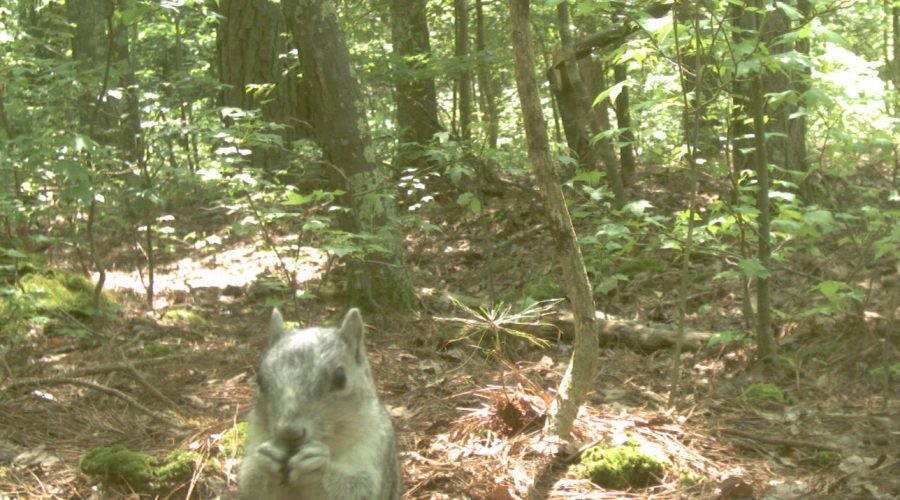 Saving the Delmarva Fox Squirrel from Extinction: A Conservation Success Story